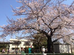 kugahara-club-sakura-tree