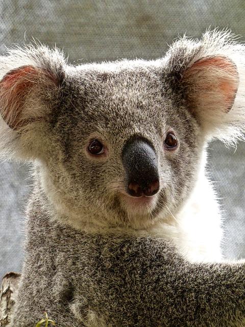 Eukalyptus aus Florida für Koalas in Duisburg