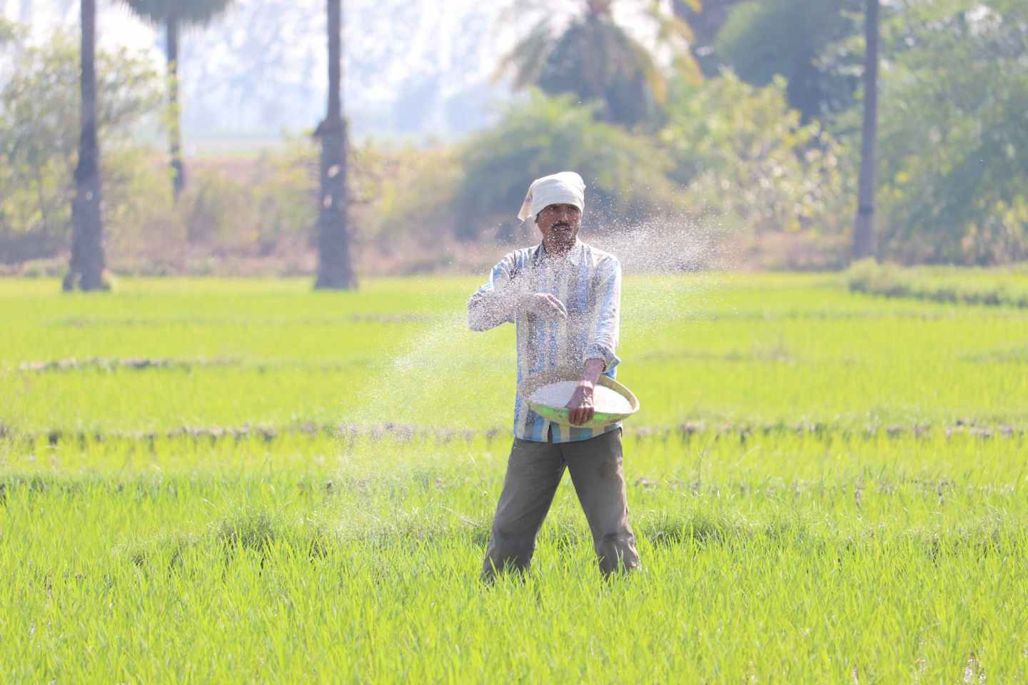 senior man sowing rice in field