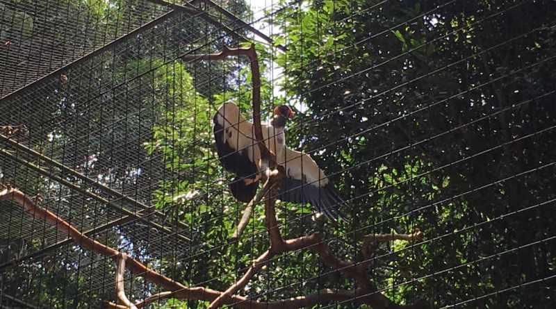 Urubu de Asas Abertas no Parque das Aves em Foz do Iguaçu