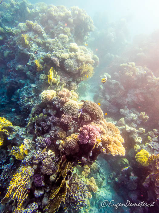 Corali din Marea Rosie