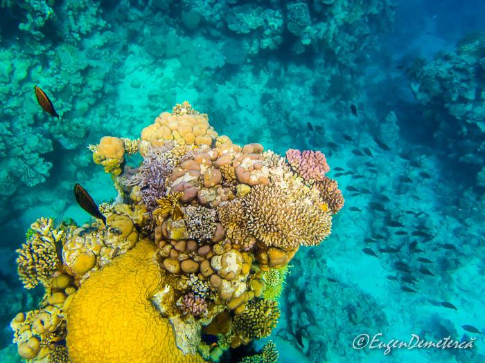 Corali si pesti din Marea Rosie