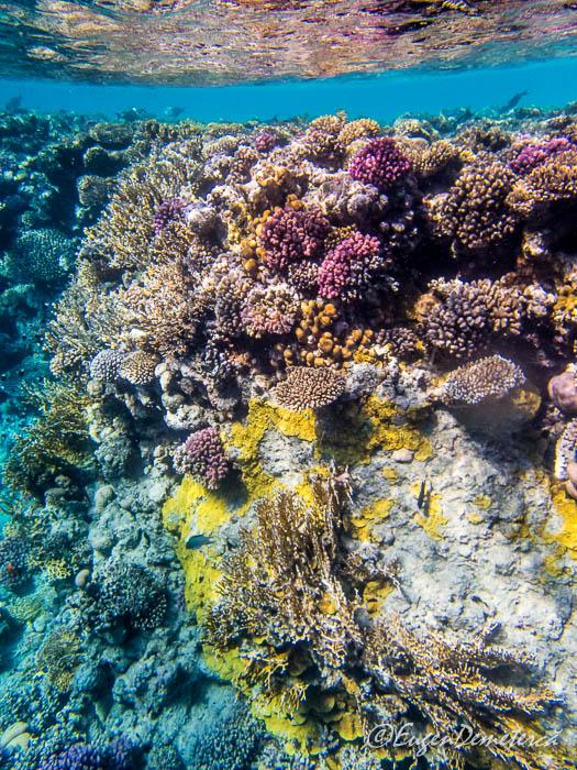 Corali la Ras Muhammad, Marea Rosie
