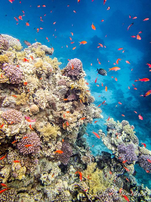 Corali cu pesti rosii in Marea Rosie