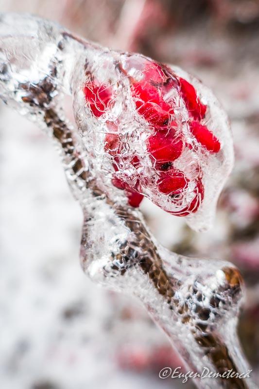 Fructe rosii in gheata crapata
