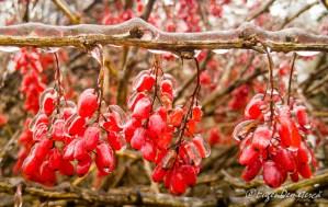 20190125 113555 - Fructe rosii in gheata 5