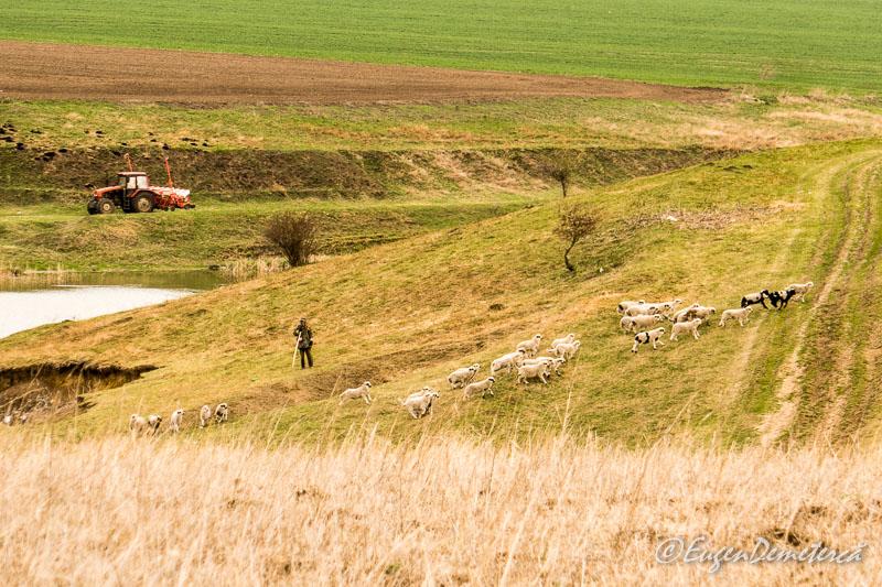 Valea Iazurilor - turma de oi