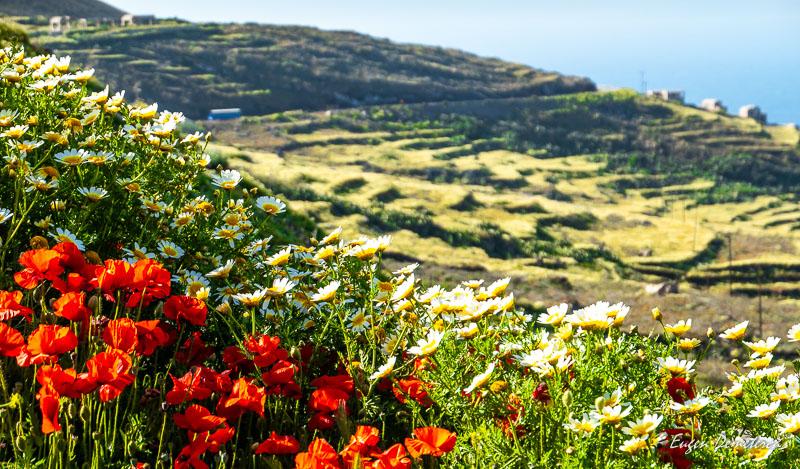 Flori salbatice in Santorini