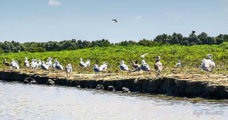 Pescarusi in Delta Dunarii