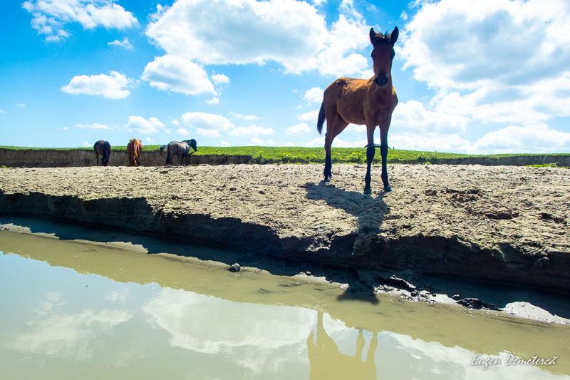 Cal in Delta Dunarii