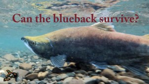 can the blueback survive?-poster