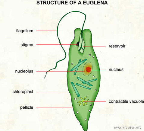 Structure & Function  Euglena