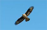 Italian LIFE project tagging raptors in Sicily gets national media