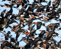 Safe passage for migrating geese