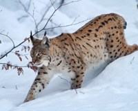 Saving the European lynx – building on hunters' legacy