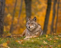 Coexistence with wolves in a changing Romania