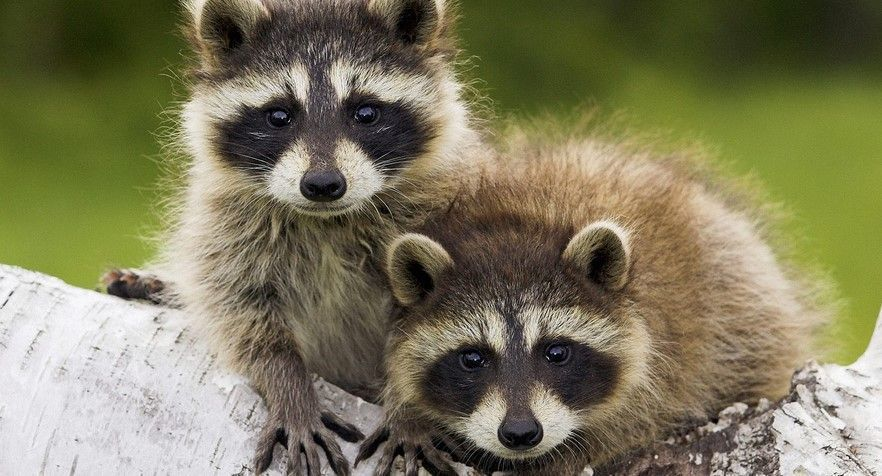 La invasión de los mapaches