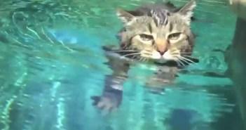 プールを泳ぐネコ