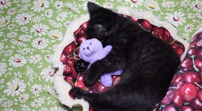 チェリーパイベッドで眠る子猫