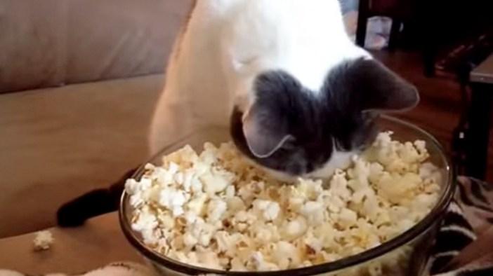 ポップコーンに顔を埋める猫