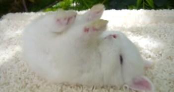 手足を上に向けて眠るウサギ