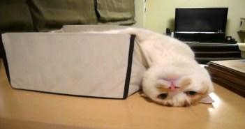 箱からはみ出す猫