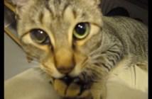 肉球をチュパチュパする猫