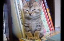 ウトウトする子猫