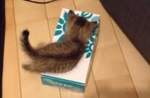 ティッシュボックスに入ろうとする子猫