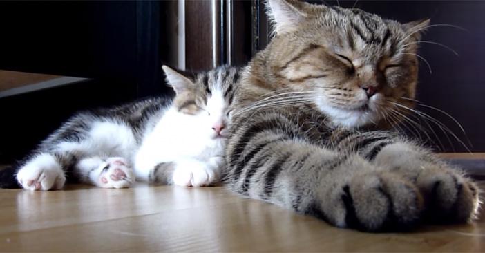 お母さんといっしょに眠る子猫