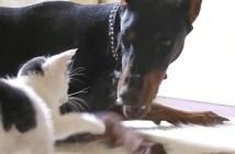 子猫とドーベルマンの戦い
