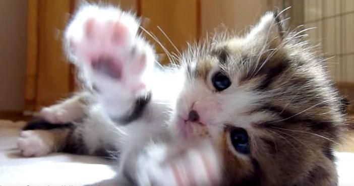 拍手する子猫