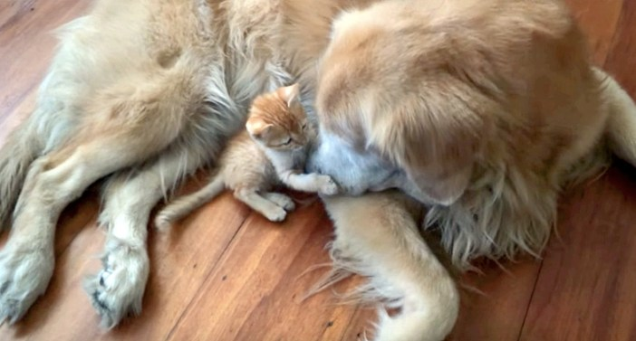 犬の鼻をぎゅっとする子猫
