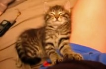 マッサージしながら眠りに落ちる子猫