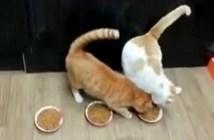 ごはんを独り占めしようとする猫