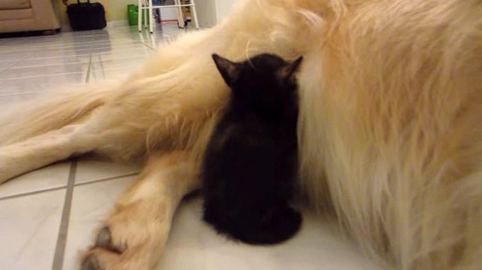 大型犬にくっつく子猫
