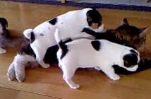 子犬にもみくちゃにされる猫