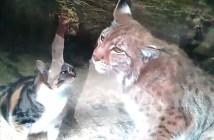 毛づくろいし合う猫とオオヤマネコ