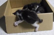 箱を登る子猫