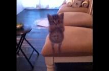 ジャンプして飛びかかってくる子猫
