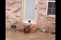猫用のドアに初挑戦する猫