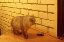 玄関チャイムを鳴らす猫
