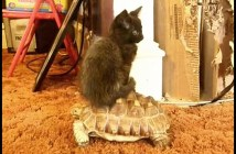 亀に乗る猫