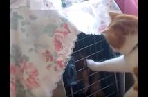 犬のキャリーを開ける猫