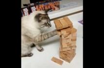 ジェンガを楽しむ猫