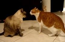 ケンカする二匹の猫を止めようとする猫