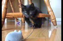 ネズミのラジコンと遊ぶ子猫