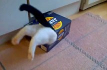 箱にハマってジタバタする猫
