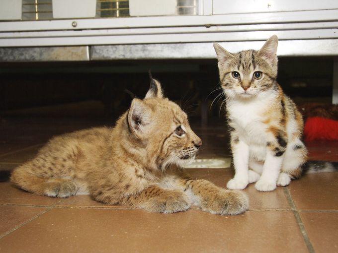 いっしょに育ったオオヤマネコと子猫