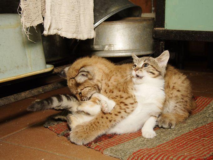 いっしょに遊ぶオオヤマネコと子猫